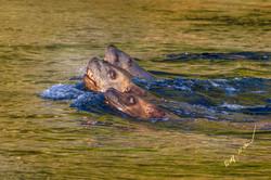 swimming sea lions