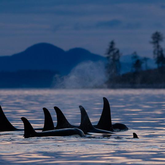 Killer Whale Family Pod