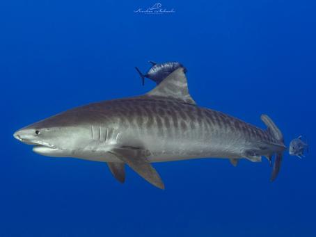 Hawai'i Enacts Landmark Shark Protection Act on World Oceans Day
