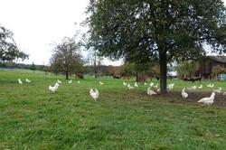 Hühner und Kühe auf der gleichen Weide