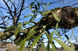 Mispeln am Apfelbaum