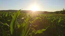 Sonnenuntergang auf dem Maisfleld