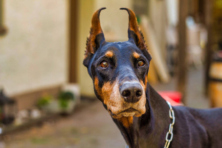 Haustiere,Hunde,Shooting