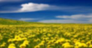 fields-of-dandelions.jpg