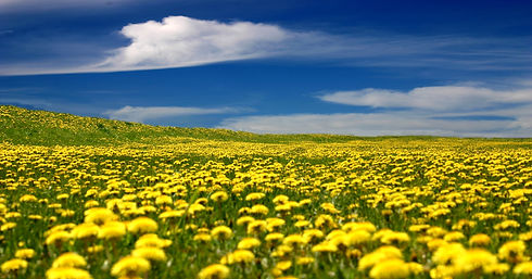fields-of-dandelions.jpg