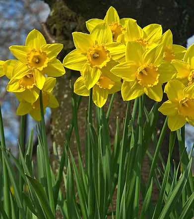 3707-Top-25-Most-Beautiful-Daffodil-Flow