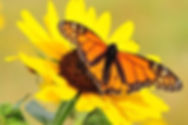 monarch-and-flower_orig.jpg