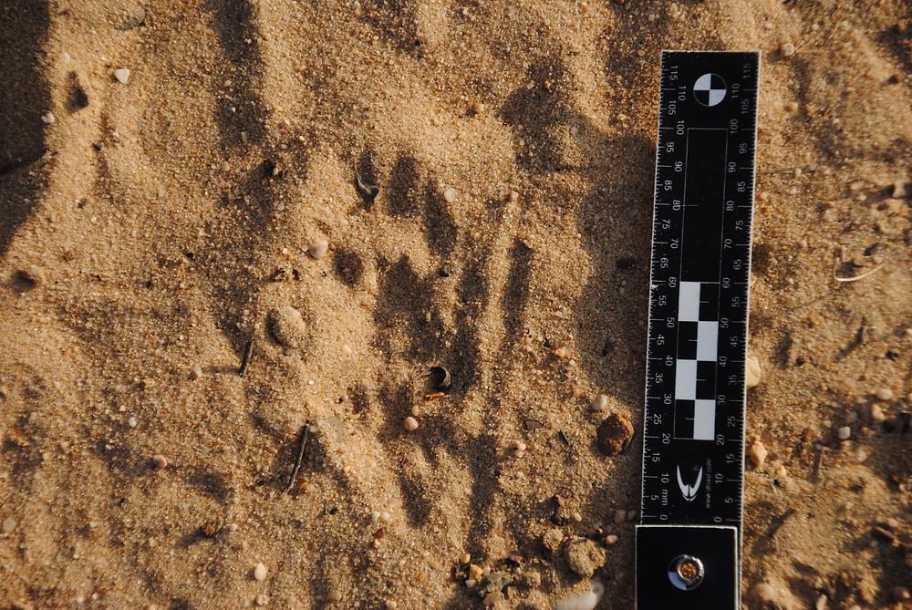 Impronte di mangusta