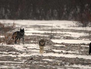 La paura verso l'uomo influenza il comportamento di caccia dei grandi carnivori
