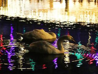 Swans in light