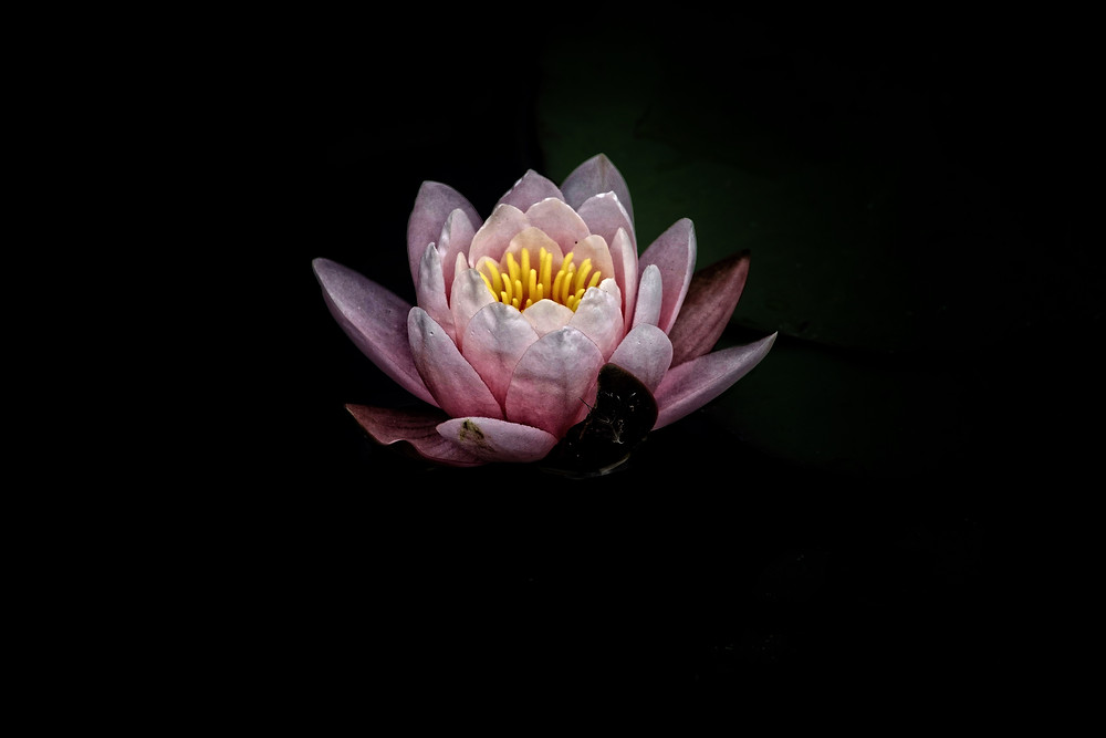 Let go of your pain rise like the lotus