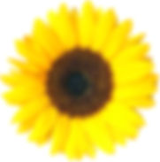 Sonnenblume_02_KMJ.jpg