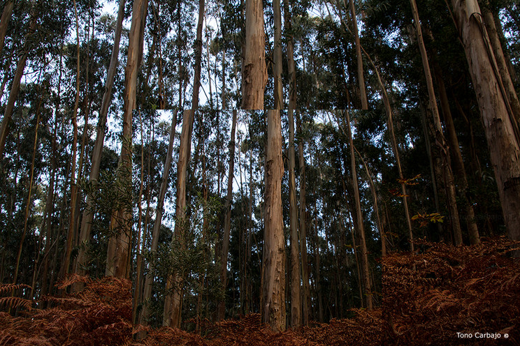 Entrecortado de brisa marina sueña el otoño entre los eucaliptus