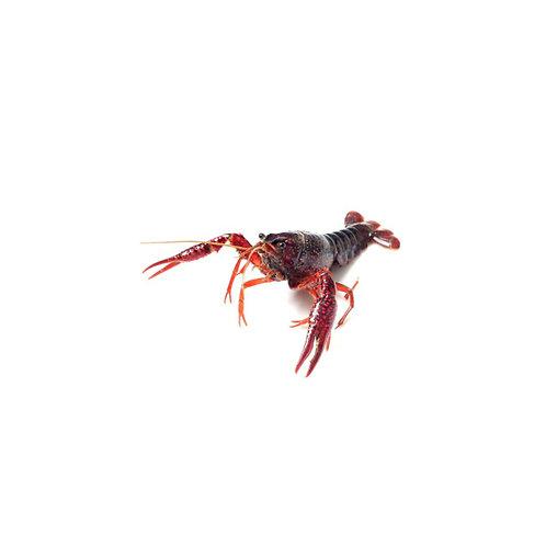 游水小龙虾(1LB)