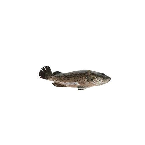 游水青斑(约2LB/条)