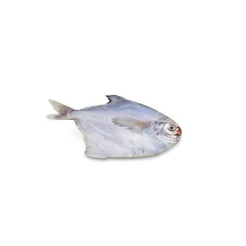 福洋白鲳鱼300g