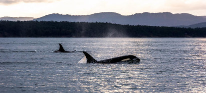 Orcas-Vancouver-Island-Photo-Destination