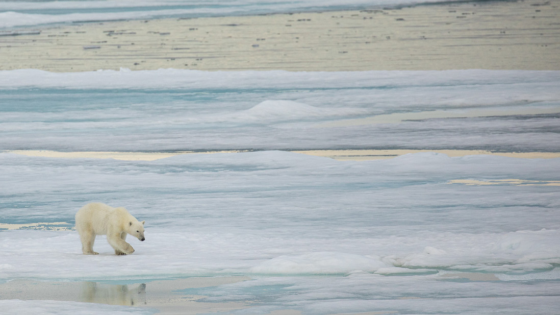 A polar bear standing on sea ice looks at its own reflection. taken at 80 degrees north, above the Arctic circle.