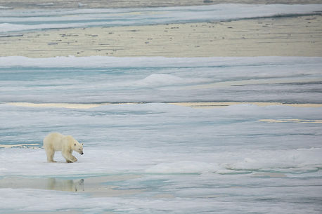 Polar bear walking on the sea ice with reflection in the Arctic.