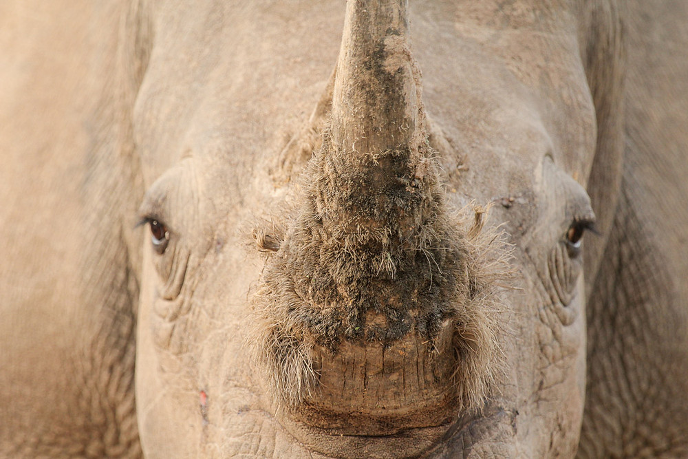 Closeup of a white rhinos horn where you can see the hair follicles in the horn.