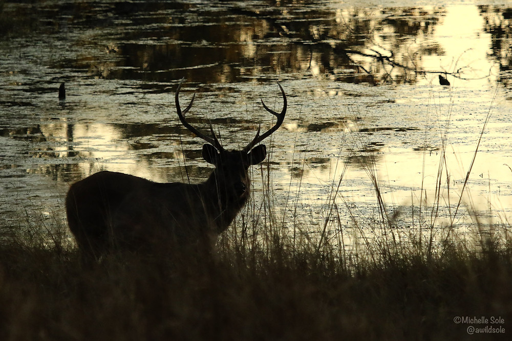 A silhouette of a deer with antlers by the water at Kanha Park India