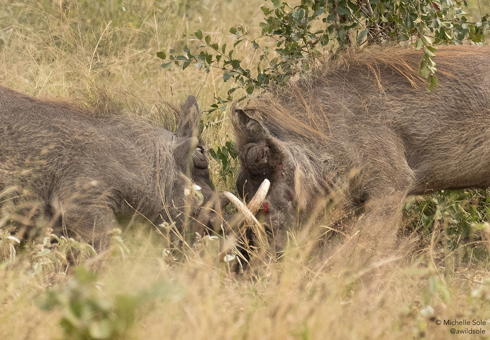 Warthogs fighting in the Kruger National Park