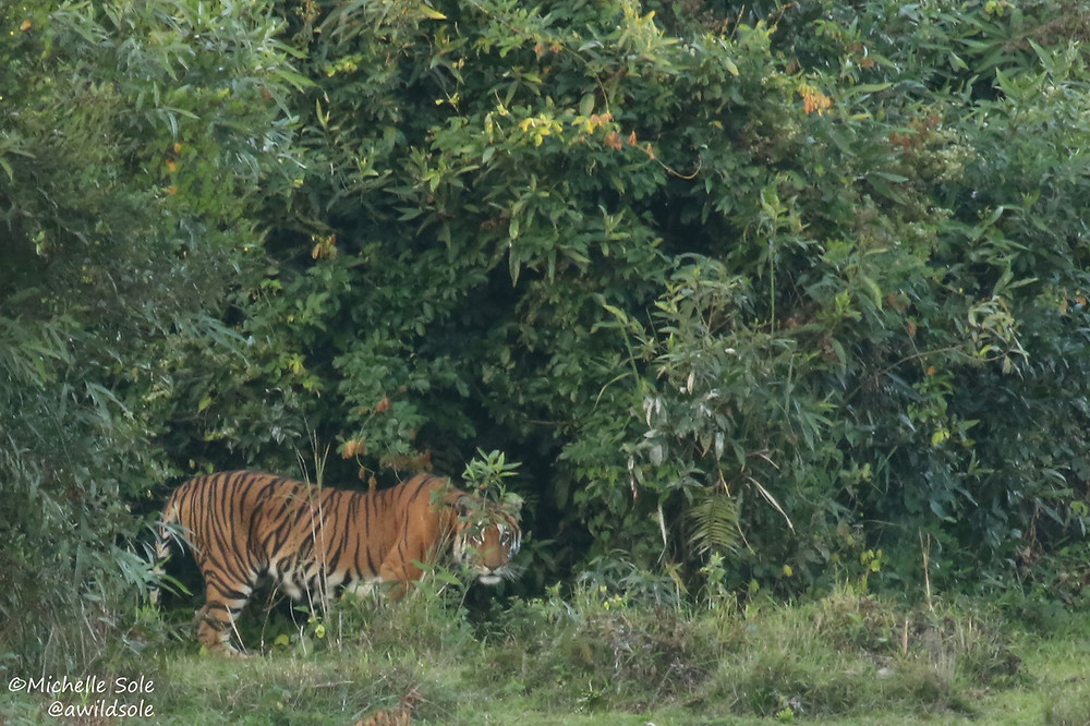 A tiger in the jungle at Kaziranga National Park