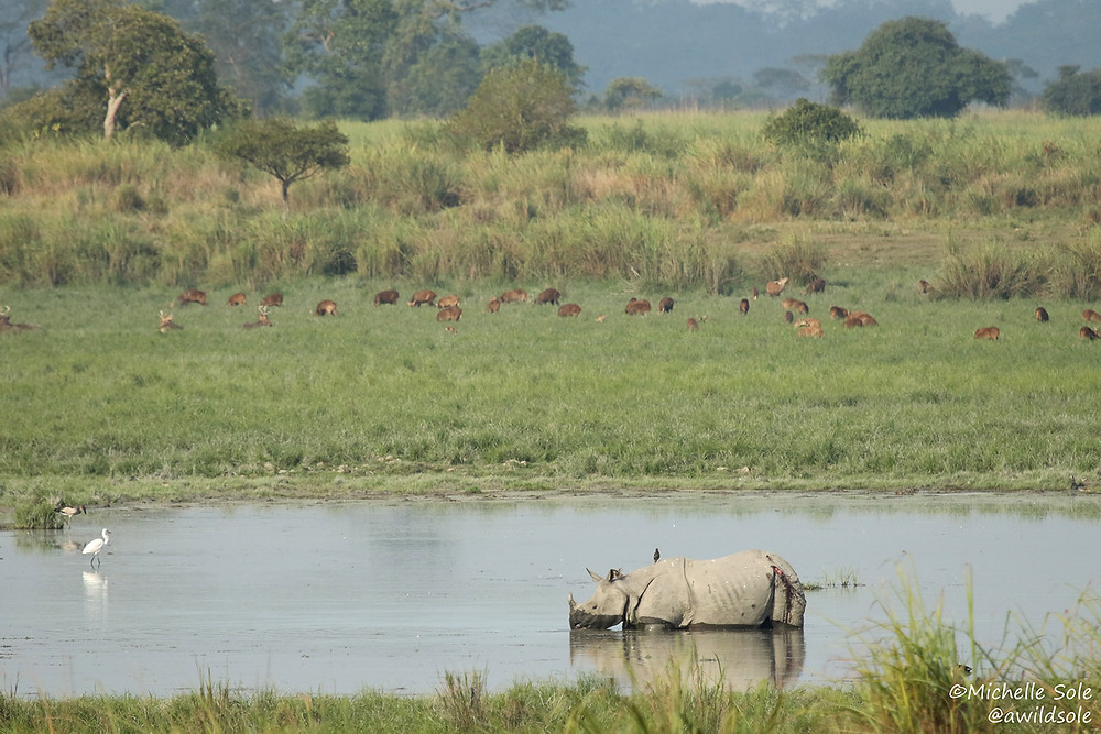 A one horned rhino in the water with deer behind at Kaziranga National Park, India