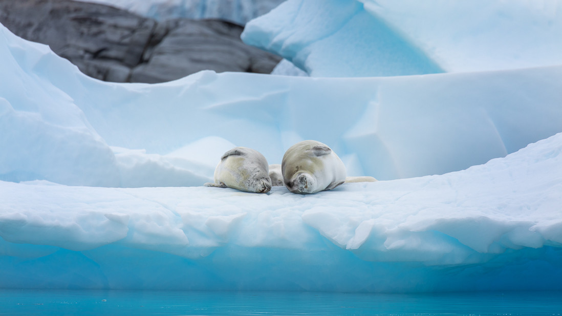 Two crabeater seals lie in perfect symmetry on a blue iceberg in Pleneau, Antarctica