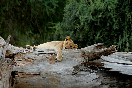 Lion cub sleeping on a fallen down tree in Africa.