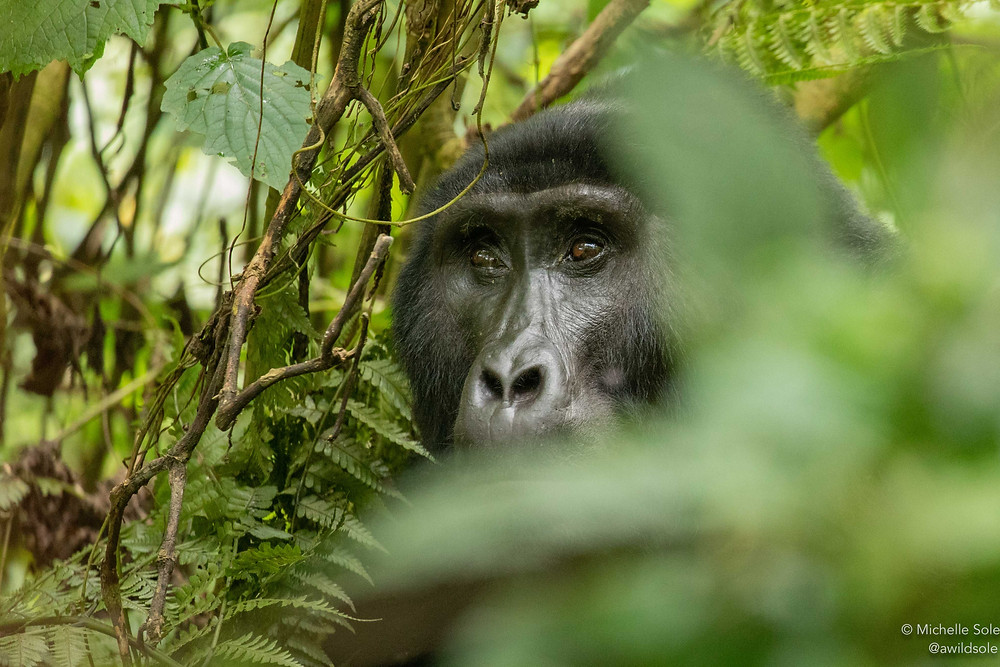A gorilla in thick dense foliage of the forest, taken in Bwindi National Park, Uganda.