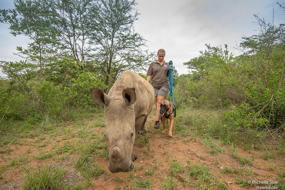 Rhino calf walking with human and dog
