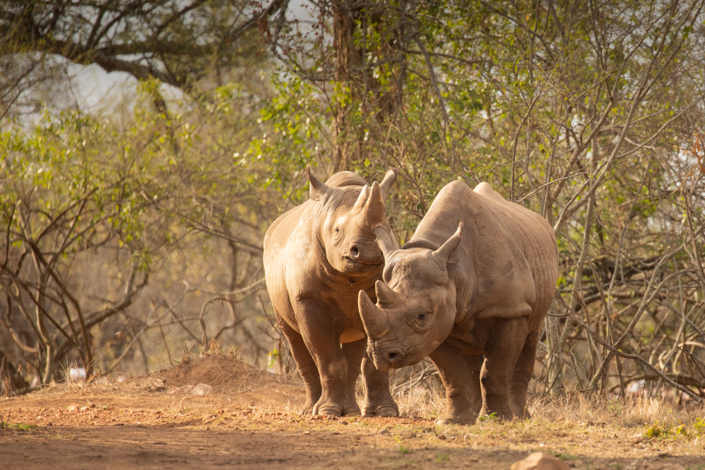 Zoo bred black rhinos introduced to Akagera National Park