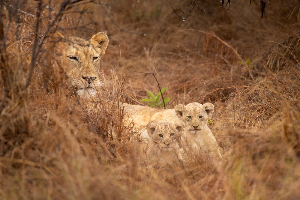 Introduced lions in Akagera National Park