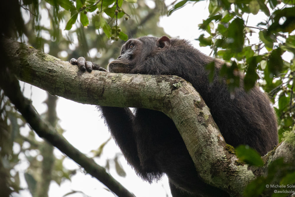 Chimpanzee rests on a tree in the forest canopy.