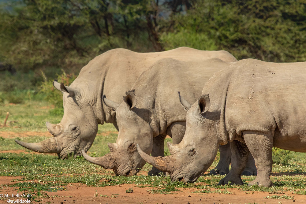 Three white rhinos grazing on the open savannah plains of Africa.