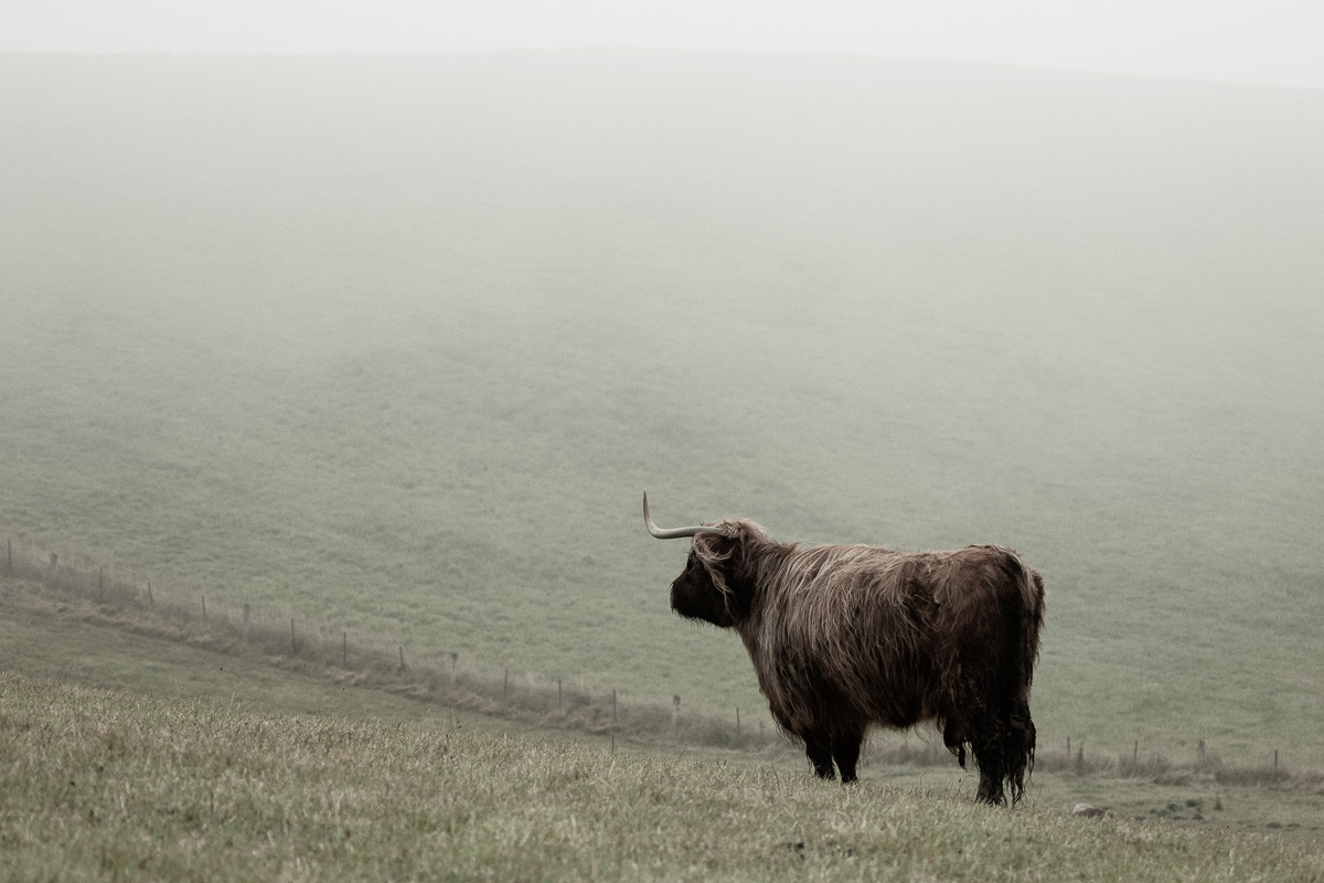 A Shetland's cow looks into the distance on a cold and misty morning in the hills of the South Island of New Zealand.