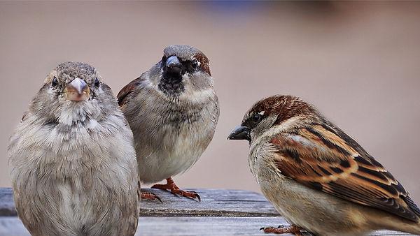 sparrows-2763083_960_720.jpg