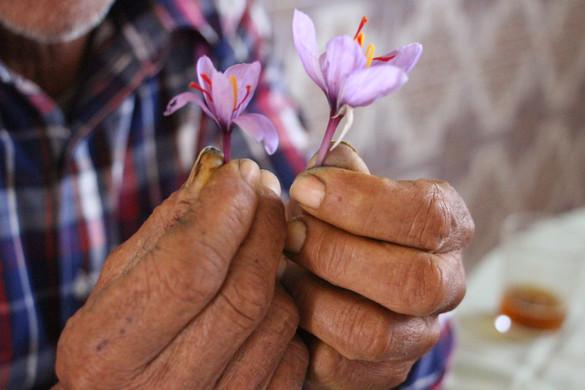 Saffron Worker's Hands