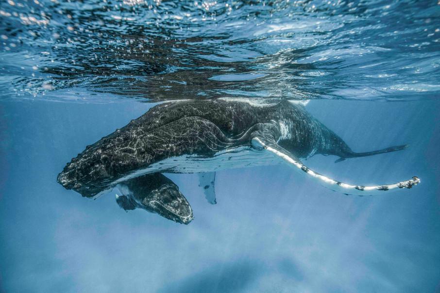 Tonga: humpback mom & calf