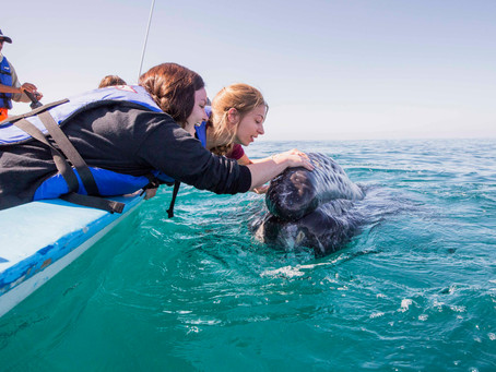 GRAY WHALES OF BAJA: THE FRIENDLY WHALE EXPERIENCE