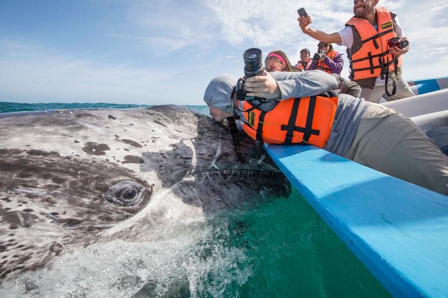 Baja: gray whale kiss