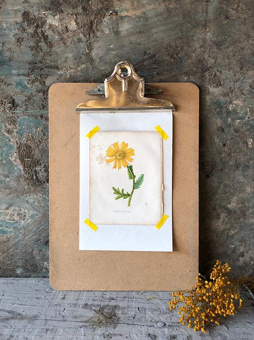 Corn Marigold - Botanical Print