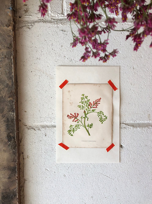 Common Fumitory - Botanical Print