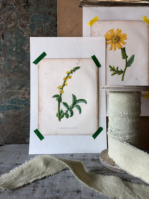 Common Agrimony - Botanical Print