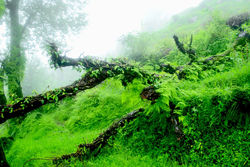 Misty Forest, North India