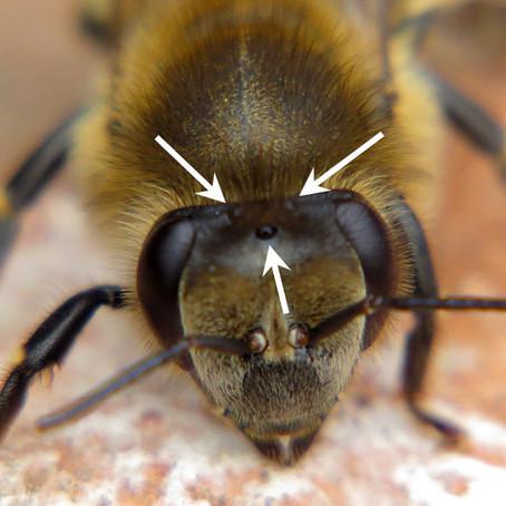 Какого пола пчела? Ответ кроется в размере...