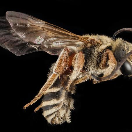 Мелипоны - пчелы, у которых нет жала! Сколько стоит их мёд? И почему их боготворили Майя?