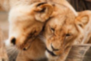 couple lions.jpg