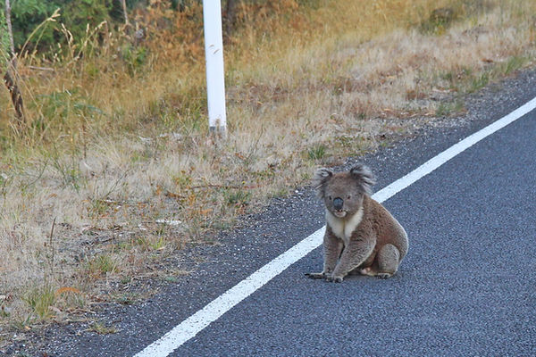 Podplato: Koala na cesti: Erskine Falls